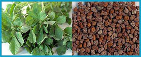Fenugreek Extract Can Safely accelerate Visceral Fat Consumption
